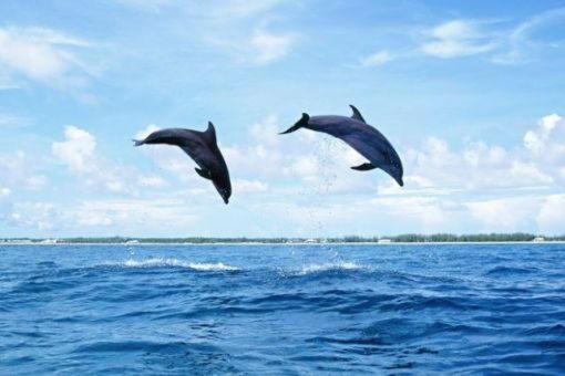 дельфины палемон меликерт