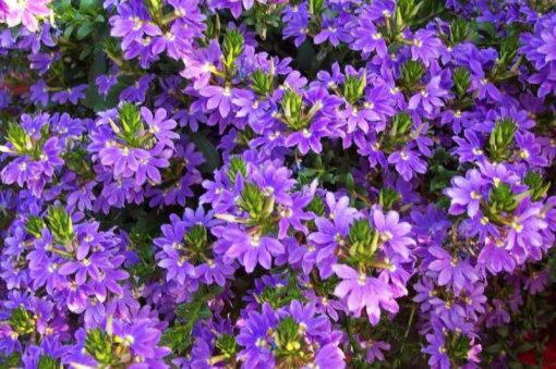 сцевола цветы
